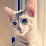 javanese-cats-kittens-3