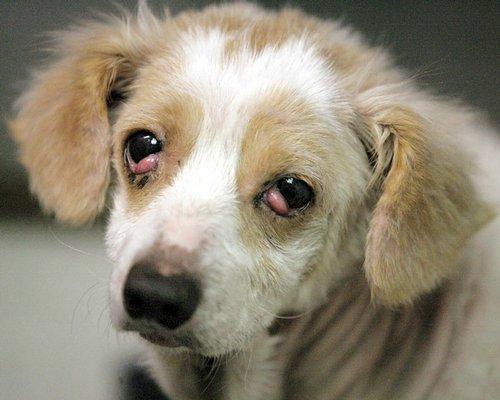 Dog Has Pink Eye Treatment